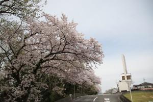 2016年桜が満開に
